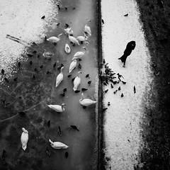 Woman and swans (szincza) Tags: artlibres