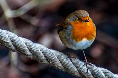 Robin (Tony Shertila) Tags: 20170103142802 england gbr unitedkingdom uptonbychester wervin geo:lat=5322679610 geo:lon=288210869 geotagged europe britain northwestengland chester chesterzoo animal cheshire bird beak feathers
