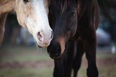 Guardians (ktruluck) Tags: horses equines outdoors quarterhorse qh thoroughbred rescue maryland bond friendship compassion palomino bay kind gentle nature domesticated