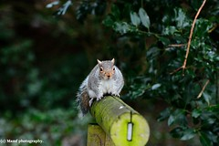LEE_6740 ((c) MAMF photography..) Tags: beautiful britain colour d7100 england eastyorkshire flickrcom flickr google googleimages gb greatbritain greatphoto greysquirrel image mamfphotography mamf nikon nikond7100 nature naturereserve photography photo squirrel uk unitedkingdom upnorth northernengland wildlife woodland yorkshire