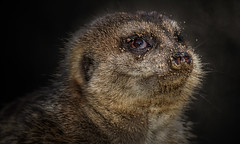 Man sollte nie den Kopf in den Sand stecken (ellen-ow) Tags: katzenartige mangusten raubtiere säugetier erdmännchen tier sand
