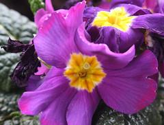 06-IMG_8522 (hemingwayfoto) Tags: blühen blüte blume flora frühblüher frühling frühlingsprimel garten gartenblume gewächs natur pflanze primel primulaveris