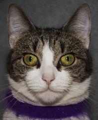 Ми-ки (dagomir.oniwenko1) Tags: мики canon canoneos7d sigmadc1750 portrait cats gatito color animals eyes edis08edis08