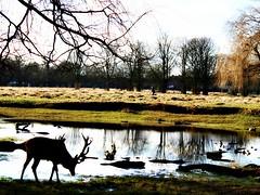 Tranquillity in the Park (Peter Denton) Tags: bushypark royalpark teddington hamptonhill londonboroughofrichmond openspace nature pond deer stag peace tranquil tranquillity ©peterdenton england uk eu europe europa history london londonist