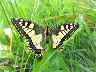 Butterfly 1155