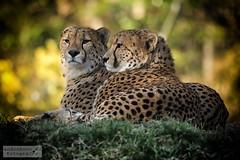 Geparden (ab-planepictures) Tags: geparden zoo köln kölner tier animal raubkatze gepard