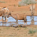 Roan, Springbok and Tsessebes at waterhole ...