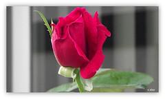 Botão de rosa (o.dirce) Tags: botão planta natureza nature odirce