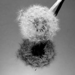 Dandelion2 (macduff312) Tags: bw black white weed seeds dandelion summer reflection