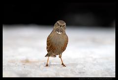 Prunella collaris (Teone!) Tags: birdwatching lessinia neve inverno bird uccello ice ghiaccio wildlife avifauna natura nature verona veneto italia italy sordone alpineaccentor
