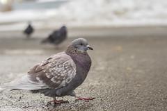 (Sibiritization) Tags: bird pigeon street spring pride bokeh nikon d3100 50mm