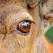 The eye of the deer