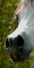 head closeup (bea2108) Tags: horses horse animal animals arab arabian arabianhorse