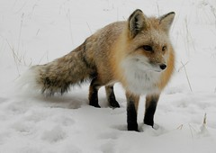 Fox in Snow (Rob Lee) Tags: snow fur colorado wildlife evergreen fox freddy