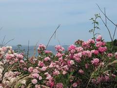 Beach roses (grkoutnik) Tags: pink blue roses beach rose provincetown capecod cape ptown beachroses