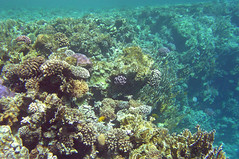 Red Sea Coral Reef (Sam and Ian) Tags: sea water coral underwater snorkel redsea egypt sharmelsheikh snorkeling snorkelling reef sharm naamabay