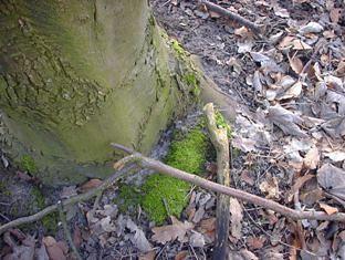 Ved træstammens fod.