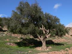 P1000336 (Carsten Drossel) Tags: atlasmountains morocco antiatlas argantree