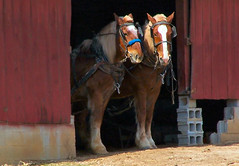 Ready to Work (cindy47452) Tags: red horses barn work team indiana amish 100views 400views 300views 200views 500views orangecounty 800views 600views 700views hitched 1000views pennsylvaniadutch 900views 1100views mireasrealm