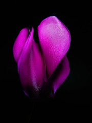 Cyclamen 1 (cienne45) Tags: pink flowers italy black nature beautiful wonderful ilovenature amazing nice fantastic lovely1 quality gorgeous liguria great cienne45 carlonatale fv5 explore genoa genova stunning fv10 natale cyclamen 1on1 mostcomments thecontinuum topphotoblog interestingness272 i500 lovephotography 1on1flowers 30faves30comments300visits exploreexset explore1336