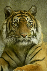 tiger1 (bea2108) Tags: cat zoo amazing tiger bigcat 123faves
