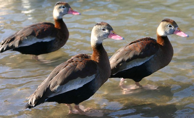 Northern Red-billed Whistling Ducks