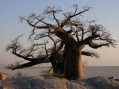 Baobab (Makgobokgobo) Tags: africa tree topv111 botswana sua baobab kubu naturesfinest makgadikgadi adansonia i500 lekhubu kubuisland suapan lekhubuisland makgadikgadipans adansoniadigitata