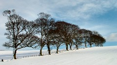 Wych Elms in Winter (ccgd) Tags: snow tree scotland highlands hills cromarty sutor
