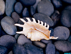 AShell (mcshots) Tags: california usa shells beach home yard coast spider rocks shell sealife collection socal flotsam mcshots southbay millipede conch beachcombing lambis strombidae millepeda