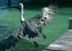 Pelican takeoff (hazytadpole) Tags: belize pelican caye ambergis specnature