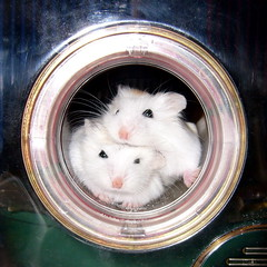 huddled in the pipe (jade_c) Tags: pet animal mammal rodent singapore pudding hamster roborovski dumpling  dwarfhamster  roborovskihamster phodopusroborovskii whitefaceroborovskihamster
