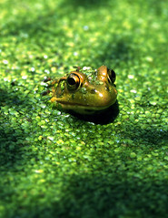 Green frog (violetflm) Tags: summer green water interestingness pond native amphibian frog il duckweed bullfrog americanbullfrog crabtreenaturecenter impressedbeauty lithobatescatesbeianus supereco