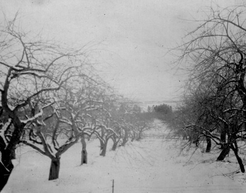Annapolis Valley apple orchard
