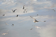 Flight and Flock 1 (Sol Lang) Tags: sky seagulls reflection ice water birds river ducks sollang thecontinuum netneutrality utatafeature heutekunst