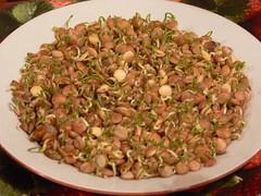 Sprouting green lentils (sabzi)