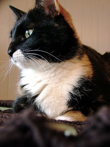 brown wool cat sweater knitting photos knit unfound merino 2006 josie cables calico regal