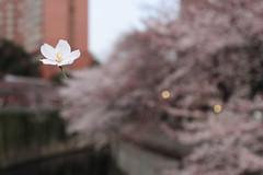 Sakura Flowin' (mrhayata) Tags: bridge japan river cherry geotagged tokyo blog 桜 日本 sakura 東京 kanda 花 bunkyo sekiguchi さくら サクラ 神田川 東京都 文京区 花びら 関口 geo:lat=357118981 geo:lon=1397232067 mrhayata komatsuka 駒塚橋