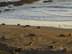 Elephant seals at Piedras Blancas (11) (marypcb) Tags: california light beach water highwayone bigsur seals sh1