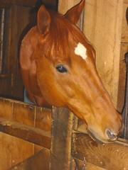 "Meet ""Hard to be Humble"" (KJKing) Tags: eye star head handsome chestnut phineas hardtobehumble horsestallthoroughbred"