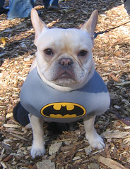 dogs dogsincostumes tompkinssquareparkdogparade dogsinhalloweencostumes halloweendogparade tompkinssquarepark dogcostume dogsdressedupaspeople batman frenchbulldog costume halloweencostume halloween canetravestito caneincostume halloweencostumesfordogs picture image photo photograph snapshot foto dog 狗 犬