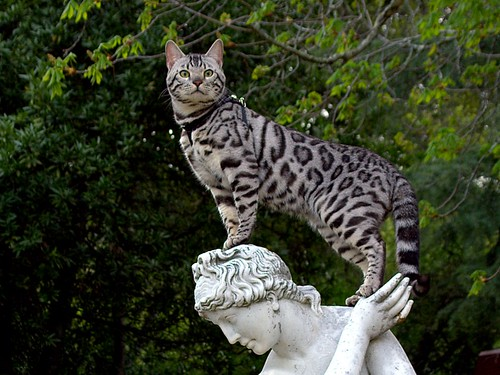 bengal cat watching for pray