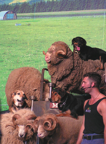 dogs riding sheep!