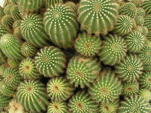 little pickle cactus patch