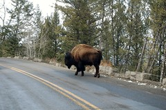 Road Block (allisonwonderland) Tags: road animal closeup nationalpark wildlife yellowstone wyoming bison animalplanet