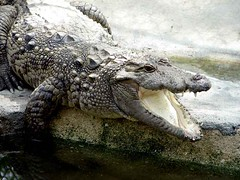 Crocodile (Hamed Saber) Tags: travel nature animal closeup geotagged persian iran persia saber crocodile iranian  hamed farsi nowrouz