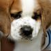 子犬:Mini Beethoven