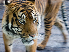 Pacing (DomWrap) Tags: uk motion london nature animals fauna cat mammal 50mm zoo movement dof availablelight tiger exotic bigcat sumatrantiger animalplanet sumatran londonzoo facebook canonef50mmf14usm pantheratigrissumatrae