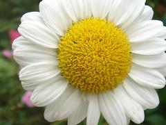 Happy Saturday! (marlenells) Tags: white flower macro freeassociation topc25 topv111 1025fav daisy verdeeamarelo maringá