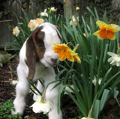 Freddy and flowers (Boered) Tags: flowers garden kid goat freddy boergoat daffodils buckling awwwthatsthecutestphotoiveseenallweek