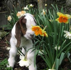 Freddy and flowers (Boered) Tags: flowers garden kid goat freddy boergoat daffodils buckling awwwthatsthecutestphotoiveseenallweek